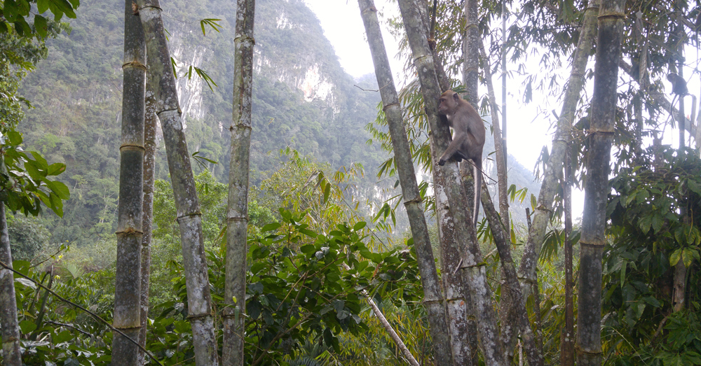 Macaque in the bamboo