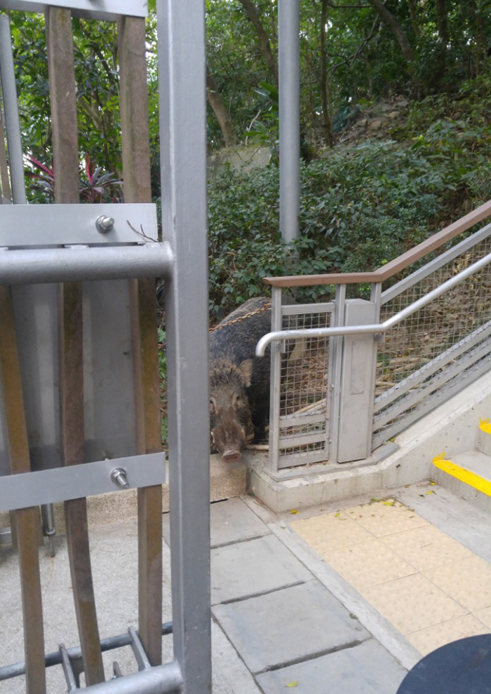 Wild boar peeks out by a public walkway in Hong Kong