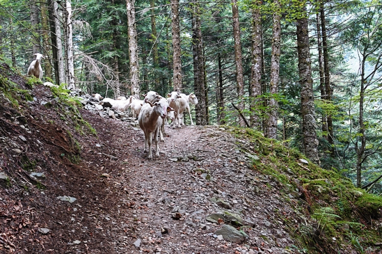 Perplexed sheep on a trail in France