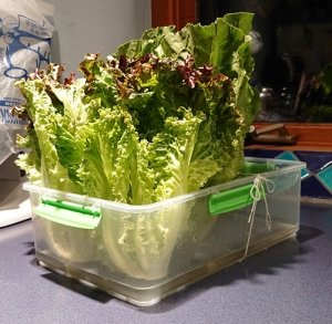 several heads of lettuce in a rectangular plastic box
