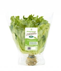 living lettuce