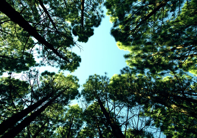 View of sky through pines