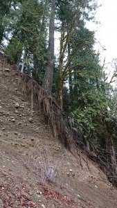 Old growth trees at precipice of landslide, roots exposed