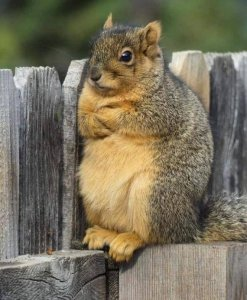 Squirrel with arms crossed