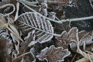 frosted fallen leaves