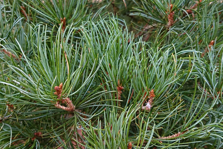 close-up of pine in Kew Gardens