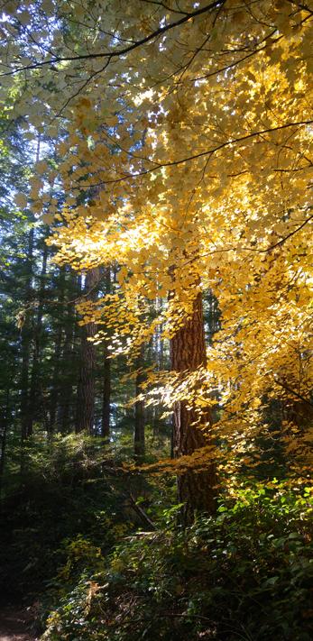 yellow bigleaf maple tree in forest